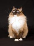Schöne hübsche Ragdoll Katze auf Schwarzem Stockfotografie