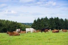Schöne Landschaft des Feldes und Hügel gestalten mit Kühen auf a landschaftlich Stockfotografie