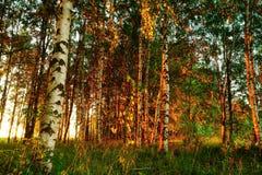 Schöne Natur am Abend im Sommerwald auf dem Sonnenuntergang Stockbild
