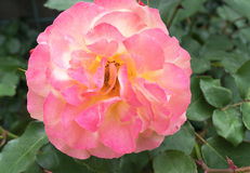 Schöne rosafarbene Rose Liebes-Weichheitskonzept Lizenzfreie Stockfotos