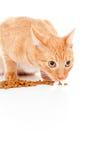 Schöne rote Katze isst die isolierte Zufuhr Stockfotografie