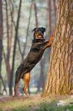 Schöne Rottweiler-Hunderasse, die auf seinen Hinterbeinen steht, setzte seine Vorderpfoten auf einen Baum Stockbilder