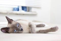 Schöne siamesische Entspannung in einem weißen Raum Lizenzfreies Stockfoto
