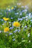 Schöne Sommerwiese mit Blumenlöwenzahn und Vergissmeinnichten, reizende Landschaft der Natur Stockfoto