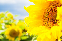 Schöne Sonnenblume Stockfotos