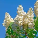 Schöne weiße Flieder blüht Blütennahaufnahme über blauem Himmel Stockfotografie