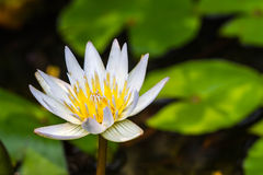Schöne Wildwasserlilie oder Lotosblume Stockbilder