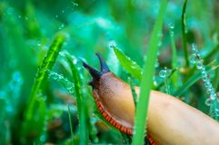 Schnecke über nassem Gras Lizenzfreies Stockbild