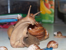 Schnecke Achatina-Erwachsener Stockfotos