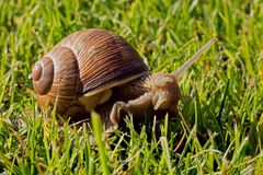 Schnecke auf dem Gras Lizenzfreies Stockfoto