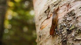 Schnecke auf einem Baum in Ost-Kanada stockfotografie