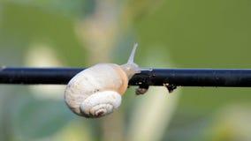 Schnecke auf einem Olivenbaum stock footage