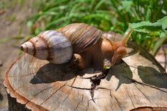 Schnecke auf einem Stumpf in der Natur Stockbilder