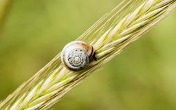 Schnecke auf einem Weizen lizenzfreie stockfotos