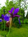 Schnecke auf einer purpurroten Iris Stockfotografie