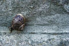 Schnecke auf einer rauen Zementwand, Tierhintergrund Lizenzfreies Stockbild