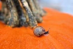 Schnecke auf orange Kürbis Stockfotografie