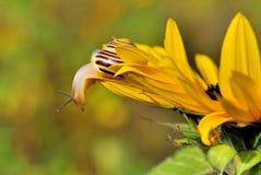 Schnecke auf Sonnenblume Lizenzfreie Stockbilder