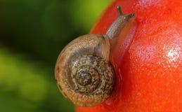 Schnecke auf Tomate Stockbild