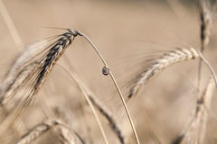 Schnecke auf Weizen Stockfotos