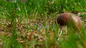 Schnecke, die auf das grüne Gras kriecht stock video footage