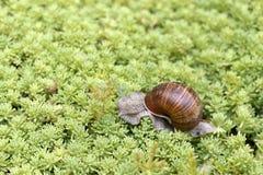 Schnecke, die auf das Gras kriecht Lizenzfreies Stockbild
