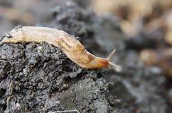 Schnecke, die auf nassen Boden kriecht Stockfotos