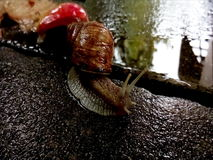 Schnecke, die in den Regen, vor Äpfeln kriecht Stockfoto