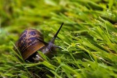Schnecke, die durch Gras läuft stockfoto