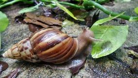 Schnecke, die frisches grünes Blatt im nassen Garten nach Regenfall isst Lizenzfreies Stockbild