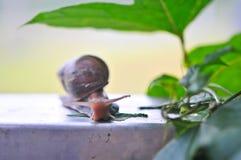 Schnecke, die Grünblätter in einem Garten isst Stockfoto