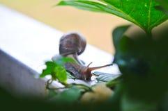 Schnecke, die Grünblätter in einem Garten isst Lizenzfreie Stockfotos