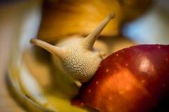 Schnecke essen Äpfel stockbild