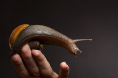 Schnecke an Hand. Achatina-Fulica Lizenzfreie Stockfotos