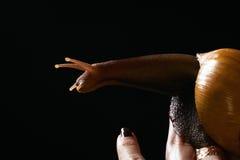 Schnecke an Hand. Achatina-Fulica Lizenzfreies Stockfoto