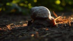 Schnecke im Wald, im Sonnenuntergang stock video