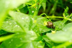 Schnecke mit braunem Oberteil auf einem grünen Blatt nach Sommerregen lizenzfreie stockfotografie