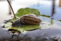 Schnecke sitzt auf grünem Blatt und betrachtet Reflexion im Wasser stockfotos