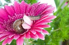 Schnecke und Blumen gerber Lizenzfreie Stockfotografie