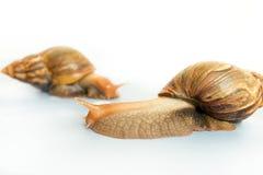 Schnecken Achatina-Riese Lizenzfreies Stockfoto