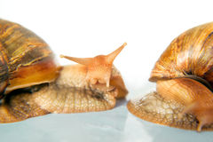 Schnecken Achatina-Riese Lizenzfreie Stockbilder
