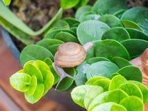 Schnecken, die auf grüne Blätter im Garten gehen Lizenzfreie Stockbilder