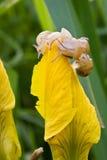 Schnecken, die für die Oberseite kämpfen. Stockfotografie