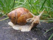 Schnecken-pomatia Stockfotografie