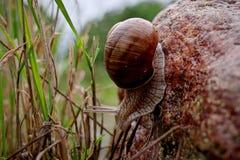 Schnecken-pomatia, das auf den Steinen gleitet stockbild