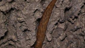 Schnecken-Schleichen auf Holz stock video