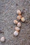 Schneckenkolonie (Cornu aspersum) auf der Wand Lizenzfreie Stockfotos