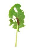 Schneckenschaden des grünen Kohlrabiblattes Lizenzfreie Stockfotos