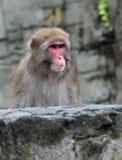 Schnee-Affe stockfotos