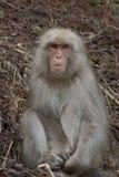Schnee-Affe auf dem Abhang, der Kamera gegenüberstellt Lizenzfreie Stockbilder